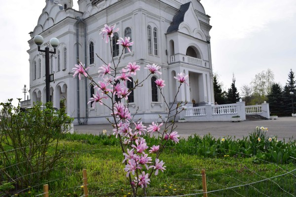 Цветение Магнолий  у   Собора Покрова Пресвятой Богородицы